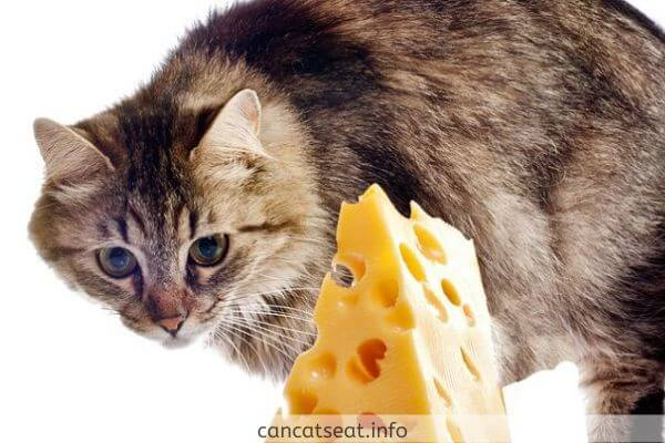 cat with cheese