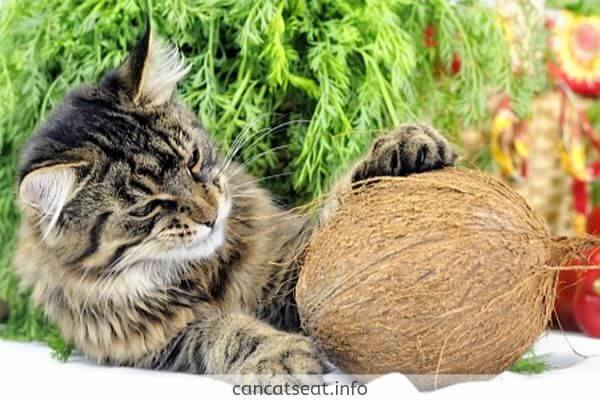 cat with coconut
