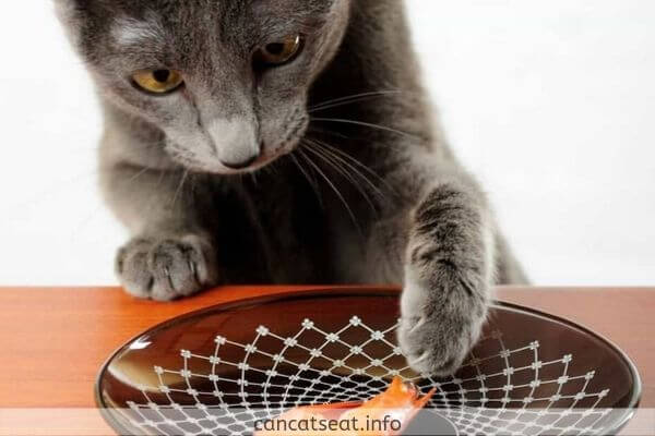Cat eating shrimp in a plate
