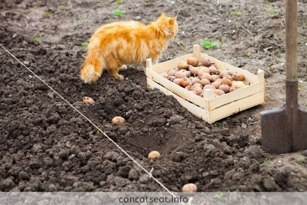 cat with bunch of potatoes