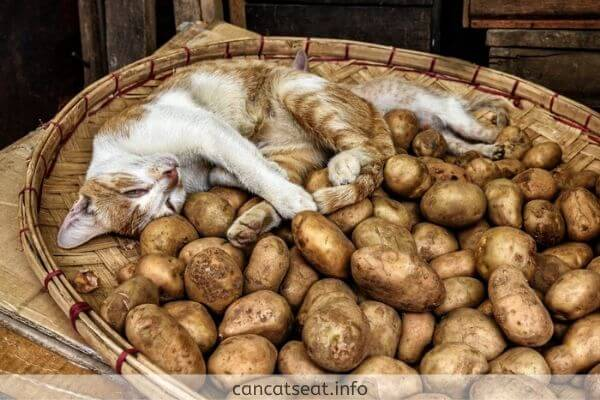 cat with potato stack