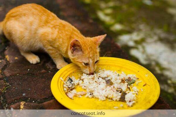 Kitten eating cooked rice in Plate