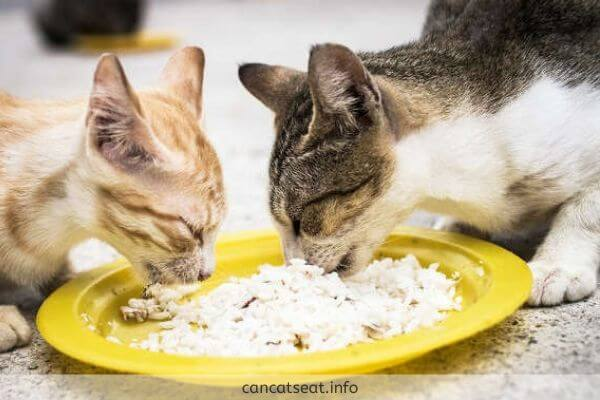 Cats are eating cooked rice
