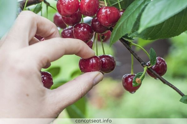 Cherries you should serve to your cat